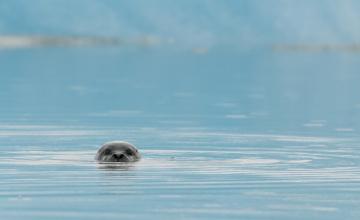обоя животные, тюлени,  морские львы,  морские котики, голова, море, тюлень