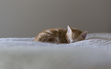 обоя животные, коты, сон, покрывало