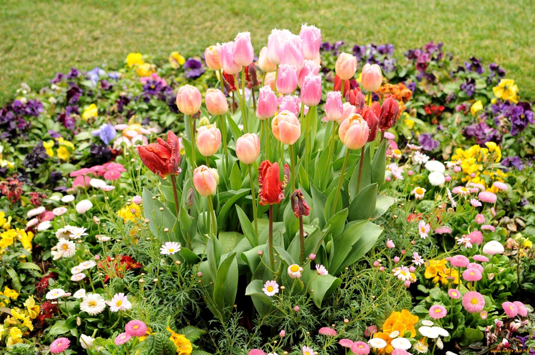 тюльпаны клумба  № 1349352 бесплатно