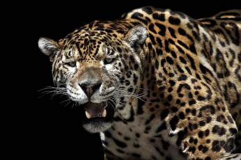 Картинка животные Ягуары кошка хищник