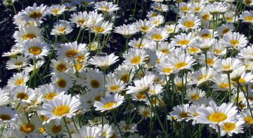Картинка цветы ромашки белый лепестки