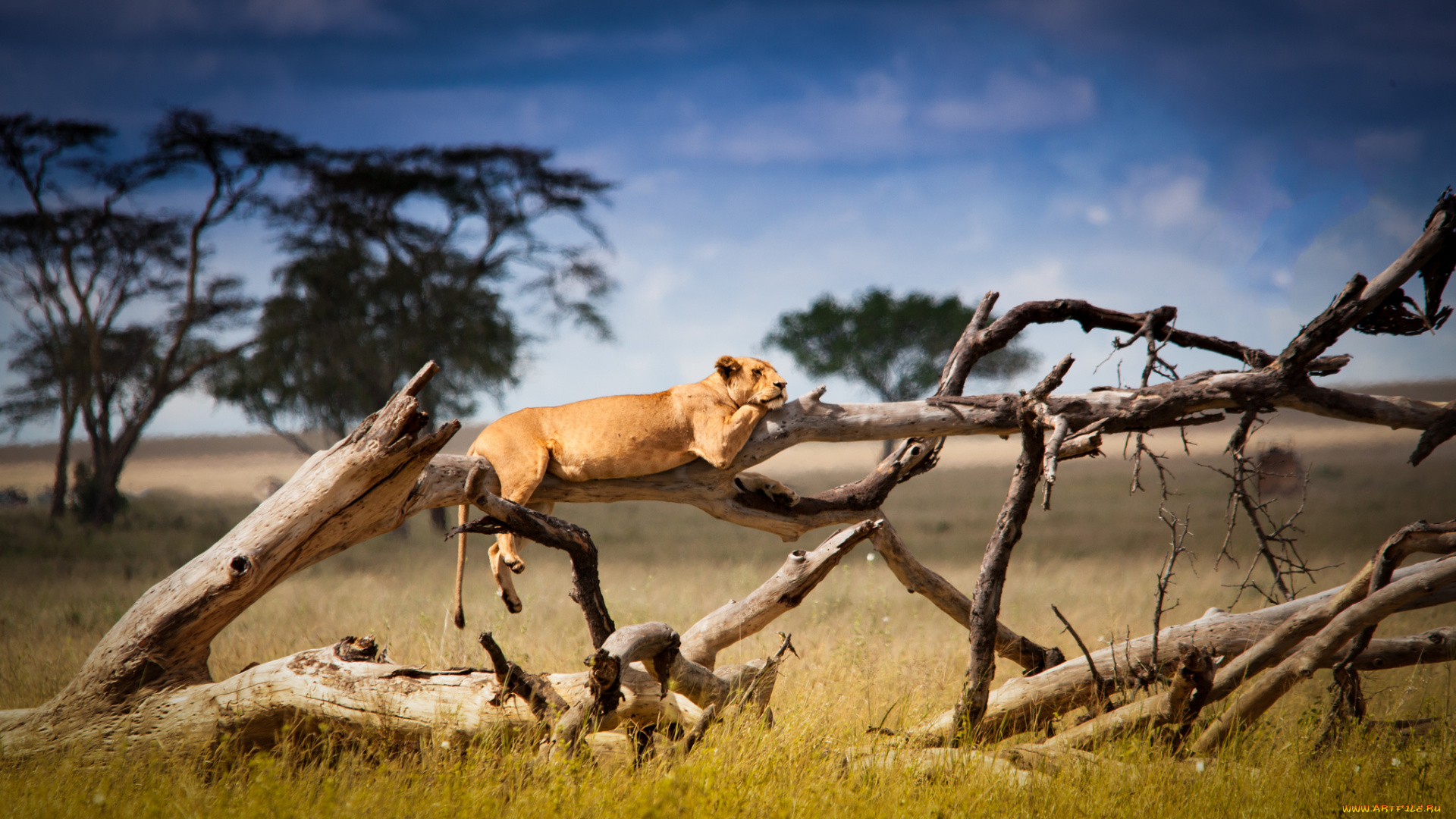 Львица на дереве на телефон