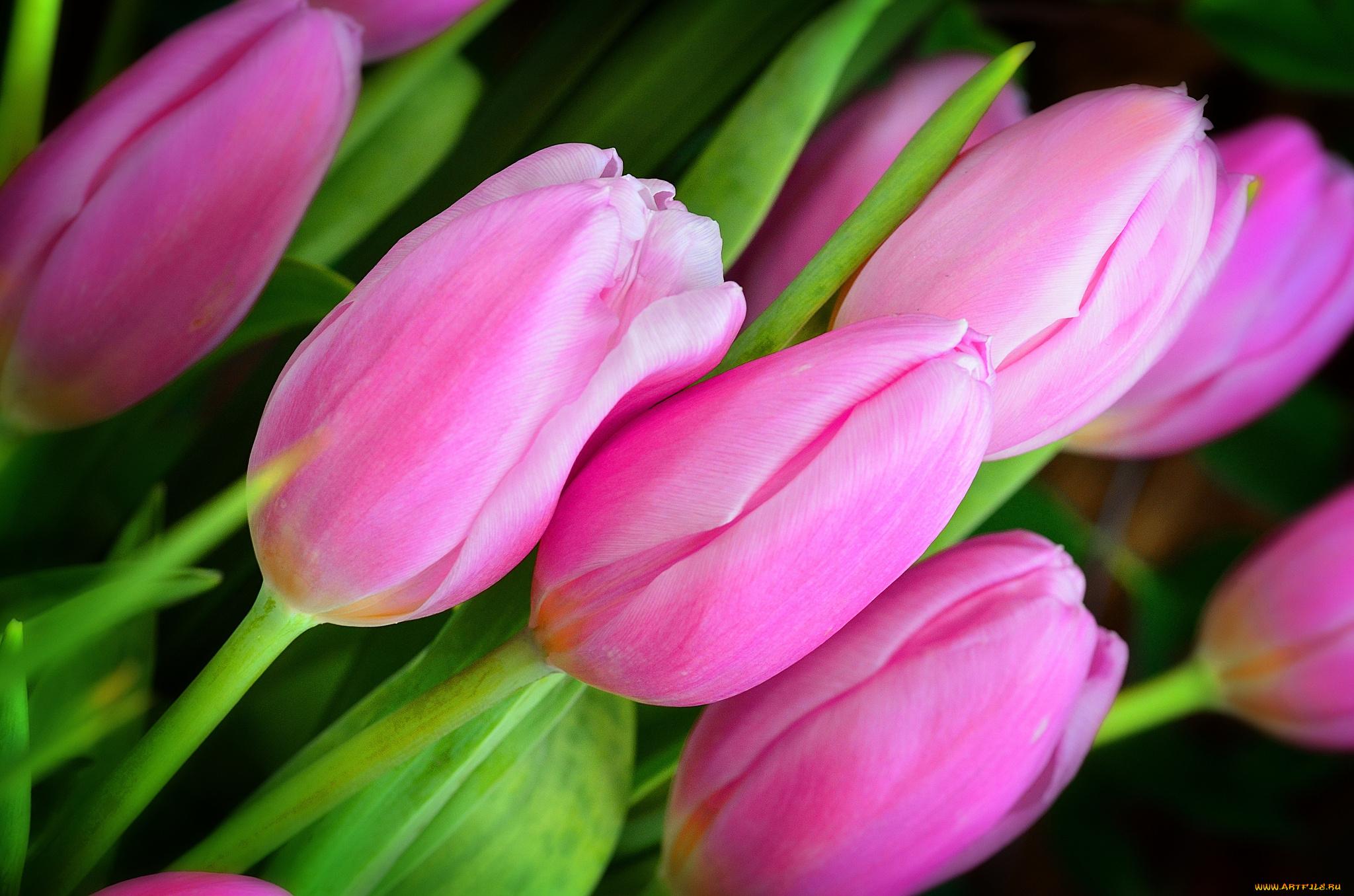 Картинка с тюльпанами на рабочий стол