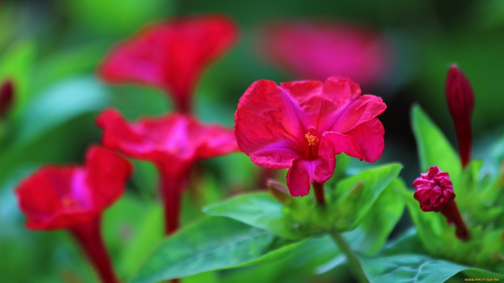 Цветок ночная красавица (мирабилис посадка и уход, фото) 33