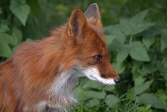 обоя животные, лисы, москва, хищник, июль, лето, лиса, зоопарк, город
