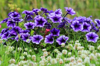 обоя цветы, петунии,  калибрахоа, петуния, лето, дача, красота, цветение, природа