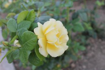 обоя желтая роза, цветы, розы, цветок, желтая, роза