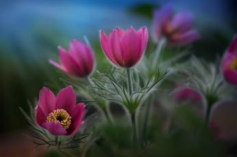 обоя цветы, анемоны,  сон-трава, сон-трава, природа, весна