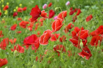 обоя цветы, маки, природа, красота