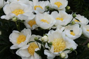 обоя цветы, пионы, флора, сад, псковская, очень, красиво, коллекция, огород, красота, лето, июнь