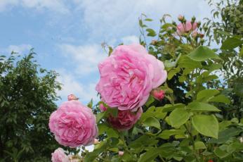 обоя цветы, розы, цветение, лепестки, роза, листья, розовая