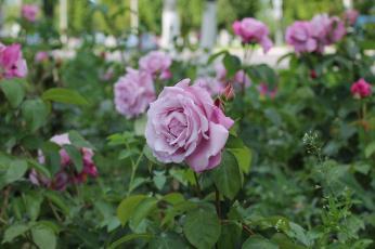 обоя цветы, розы, клумба, лето, город, природа