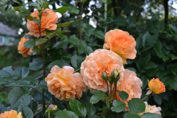 обоя цветы, розы, лепестки, листья, розовая, роза, цветение