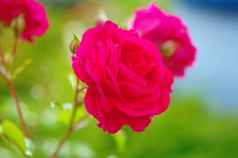 обоя цветы, розы, красота, природа, лето, красный, цвет, июль, цветение, флора, растения