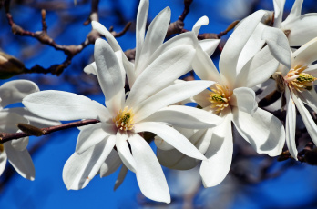 обоя цветы, магнолии, цветение, рига, природа, магнолия, латвия, красота, ботанический, сад