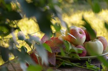 обоя еда, Яблоки, яблоки, сад, лето, август