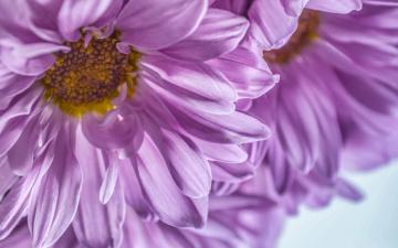 обоя цветы, хризантемы, by, dashakern, макро