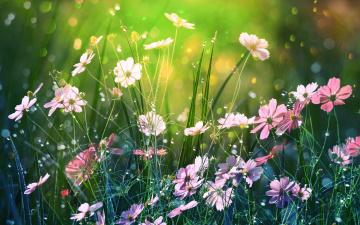 обоя цветы, космея, боке, природа, лето, by, dashakern