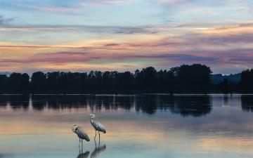 обоя животные, цапли,  выпи, by, dashakern, река, природа, птицы, деревья, небо