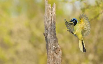 обоя животные, сойки, полет, зеленый, сойка, посадка, крылья, птица