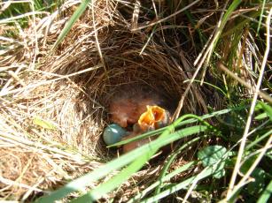 обоя животные, гнезда, птиц