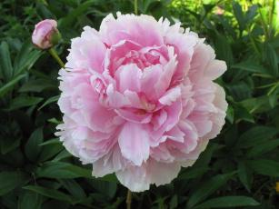 обоя цветы, пионы, пион, розовый, бутоны