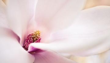 обоя цветы, магнолии, макро, цветок, розовый