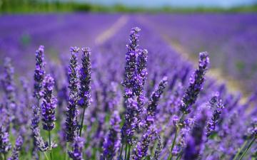 обоя цветы, лаванда, поле, боке, солнце, цветки