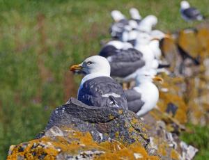 обоя животные, Чайки,  бакланы,  крачки, чайки, птицы, много, камень, природа