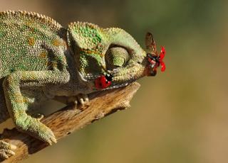 обоя животные, хамелеоны, ящерица, сучок, насекомые, хамелеон, божьи, коровки