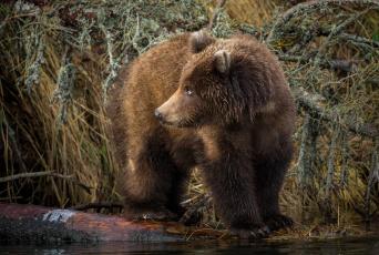 обоя животные, медведи, хищник