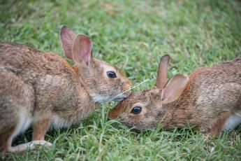 обоя животные, кролики,  зайцы, трава, пара