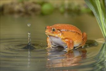 обоя животные, лягушки, капли, вода, оранжевая, лягушка