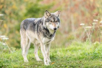обоя животные, волки,  койоты,  шакалы, хищник