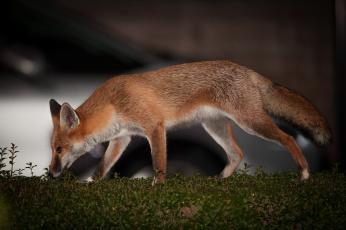 обоя животные, лисы, лиса, нюхает, ушки, мордочка, взгляд