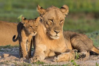обоя животные, львы, хищник