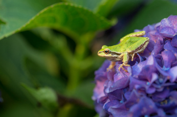обоя животные, лягушки, гортензия, цветок, трава, природа, зеленая, лягушка, листья
