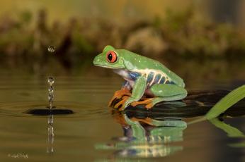 обоя животные, лягушки, капля, вода, лягушка