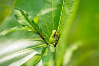 обоя животные, лягушки, лягушка, трава, листья, зеленая, природа