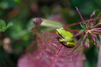 обоя животные, лягушки, природа, лист, лягушка