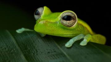 обоя животные, лягушки, лист, зеленая, лягушка