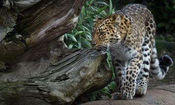 обоя животные, леопарды, хищник