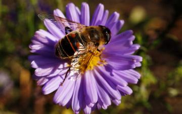 обоя пчела, животные, насекомые, полосатая, муха, журчалка, пчелка