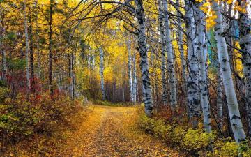 обоя природа, дороги, листопад, осень, березы, роща