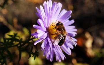 обоя животные, насекомые, полосатая, муха, журчалка, пчелка, пчела