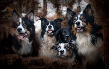 обоя животные, собаки, осень, друзья