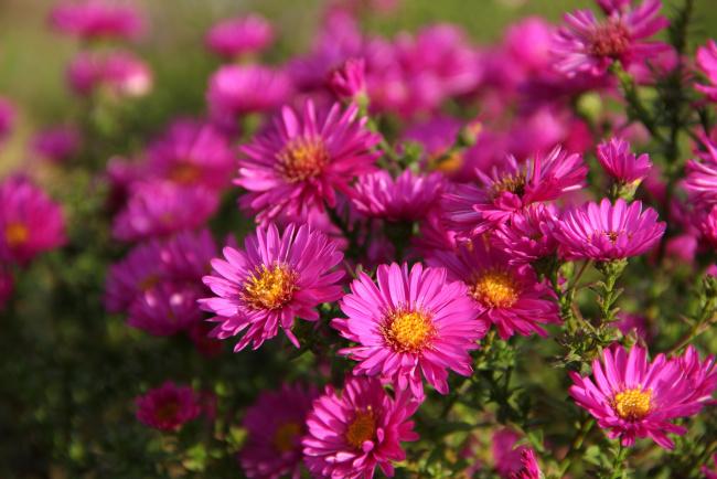 Цветы октябринки фото