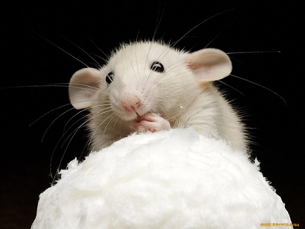 Болеть, смешные картинки крысят