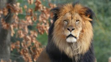 обоя животные, львы, морда