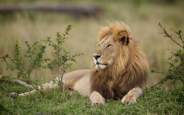 обоя животные, львы, профиль